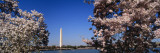 Cherry Blossom Flowers on Cherry Tree, Washington Monument, Washington D.C., USA Wall Decal by  Panoramic Images
