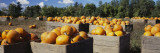 Ripe Pumpkins in Wooden Crates, Grand Rapids, Kent County, Michigan, USA Wall Decal by  Panoramic Images