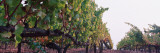 Crops in a Vineyard, Sonoma County, California, USA Wall Decal by  Panoramic Images