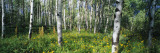 Field of Rocky Mountain Aspens Wall Decal by  Panoramic Images