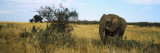 African Elephant Standing in Masai Mara National Reserve, Kenya Wall Decal by  Panoramic Images