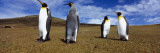 Four King Penguins Standing on a Landscape, Falkland Islands Wall Decal by  Panoramic Images