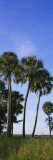 Palm Trees on a Landscape, Myakka River State Park, Sarasota, Florida, USA Wall Decal by  Panoramic Images