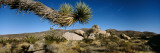 Branch of a Joshua Tree, Mojave Desert, Joshua Tree National Monument, California, USA Wall Decal by  Panoramic Images
