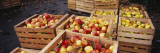 Harvested Apples in Wooden Crates, Weinsberg, Baden-Wurttemberg, Germany Wall Decal by  Panoramic Images