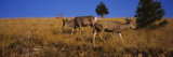 Side Profile of Two Mule Deer Standing in a Field, Montana, USA Wall Decal by  Panoramic Images