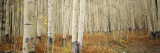 Aspen Trees in the Forest, Aspen, Colorado, USA Muursticker van Panoramic Images