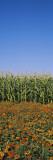 Flowers Growing in Front of a Corn Field, Gilroy, California, USA Wall Decal by  Panoramic Images