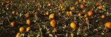 Pumpkins in a Field, Grand Rapids, Kent County, Michigan, USA Wall Decal by  Panoramic Images
