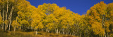 View of Aspen Trees in a Forest, Telluride, San Miguel County, Colorado, USA Wall Decal by  Panoramic Images