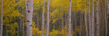 Aspen Trees in a Forest, Telluride, San Miguel County, Colorado, USA Wall Decal by  Panoramic Images
