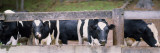 Cows Looking Through a Fence Wall Decal by  Panoramic Images
