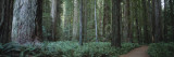 Trees Along a Walkway in a Forest, Jedediah Smith Redwoods State Park, California, USA Wall Decal by  Panoramic Images