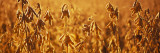 Close-Up of Ripe Soybeans in a Field, North Carolina, USA Wall Decal by  Panoramic Images