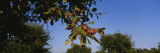 Close-Up of a Plum Tree in an Orchard, Gilroy, California, USA Wall Decal by  Panoramic Images
