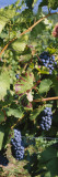 Close-Up of Red Grapes in a Vineyard, Finger Lake, New York, USA Wall Decal by  Panoramic Images