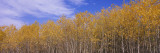 Poplar Trees in a Forest, Minnesota, USA Wall Decal by  Panoramic Images