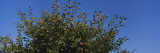 Close-Up of Plum Trees in an Orchard, Gilroy, California, USA Wall Decal by  Panoramic Images