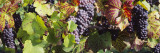 Close-Up of Red Grapes in a Vineyard, Finger Lake Region, New York, USA Wall Decal by  Panoramic Images