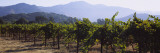 Grape Vines in a Vineyard, Napa Valley, California, USA Wall Decal by  Panoramic Images