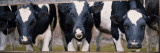 Cows and Bull Looking Through a Fence Wall Decal by  Panoramic Images
