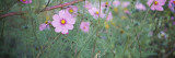 Close-Up of Cosmos Flowers, Weinsberg, Baden-Wurttemberg, Germany Wall Decal by  Panoramic Images