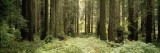 Redwood Trees in a Forest, Redwood National Park, California, USA Wall Decal by  Panoramic Images