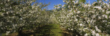 Apple Orchard in Bloom, Peshastin, Chelan County, Washington, USA Wall Decal by  Panoramic Images