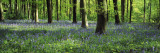 Bluebells in a Forest, Micheldever Wood, Hampshire, England Wall Decal by  Panoramic Images
