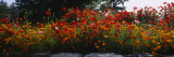 Poppies Along a Stone Wall, Fidalgo Island, Skagit County, Washington, USA Wallstickers af Panoramic Images,