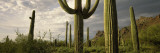 Saguaro Cactus on a Hill, Organ Pipe Cactus National Monument, Pima County, Arizona, USA Wall Decal by  Panoramic Images