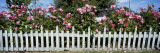 Flowering Roses Behind a Fence, Coupeville, Island County, Washington State, USA Wall Decal by  Panoramic Images