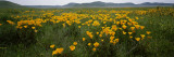Poppies in a Field, Carrizo Plain, San Luis Obispo County, California, USA Wall Decal by  Panoramic Images