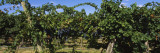 Bunch of Grapes in a Vineyard, Prosser, Yakima Valley Appellation, Washington, USA Wall Decal by  Panoramic Images