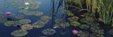 Water Lilies in a Pond, Denver Botanic Gardens, Denver, Colorado, USA Wall Decal by  Panoramic Images