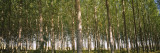 Trees in a Forest, Washington, USA Wall Decal by  Panoramic Images