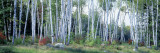 Downy Birch Trees in a Forest, Shelburne, Coos County, New Hampshire, USA Wall Decal by  Panoramic Images