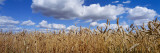 Wheat Crop Growing in a Field, Near Edmonton, Alberta, Canada Wall Decal by Panoramic Images