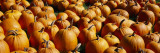 Pumpkins in a Field, Vermont, USA Wall Decal by Panoramic Images 