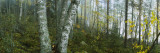 Birch Trees in a Forest  Puumala  Finland