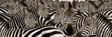 Herd of Zebras Wallstickers af Panoramic Images