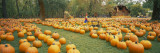 Pumpkins in a Field Wall Decal by  Panoramic Images