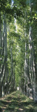 Plane Trees in a Forest, Provence, Provence-Alpes-Cote D'Azur, France Wall Decal by  Panoramic Images