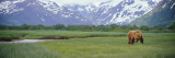 Grizzly Bear Grazing in a Field, Kukak Bay, Katmai National Park, Alaska, USA Wall Decal by  Panoramic Images