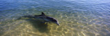 Bottle-Nosed Dolphin in Sea, Monkey Mia, Shark Bay Marine Park, Perth, Western Australia, Australia Wall Decal by  Panoramic Images