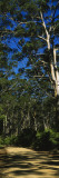 Eucalyptus Trees in a Forest, Australia Wall Decal by  Panoramic Images