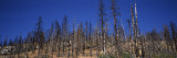 Burnt Trees in a National Park, Yosemite National Park, California, USA Wall Decal by  Panoramic Images