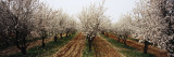 Almond Trees in an Orchard, Syria Wall Decal by  Panoramic Images