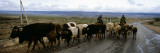 Cattle Being Herded on a Road, Kyrgyzstan Wall Decal by  Panoramic Images