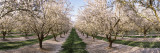 Almond Trees in an Orchard, Central Valley, California, USA Vinilos decorativos por Panoramic Images